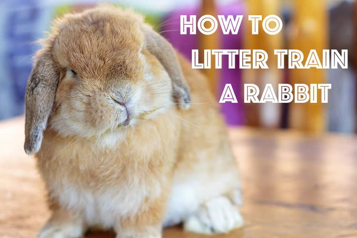 Litter isn't just for cats! Teach your #bunny how to do his business in a box. #rabbittips #litterbox