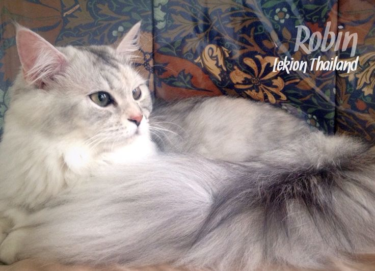 "Robin "" Percoon Cat "" Lekion Thailand"