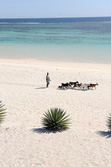 livestock on the beach, southern Madagascar.  Photo:  luca.gargano, via Flickr