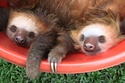 A Bucket Of Baby Sloths For Your Viewing Pleasure.  BuzzFeed Animals 2/13/13.  Pretty cute video.