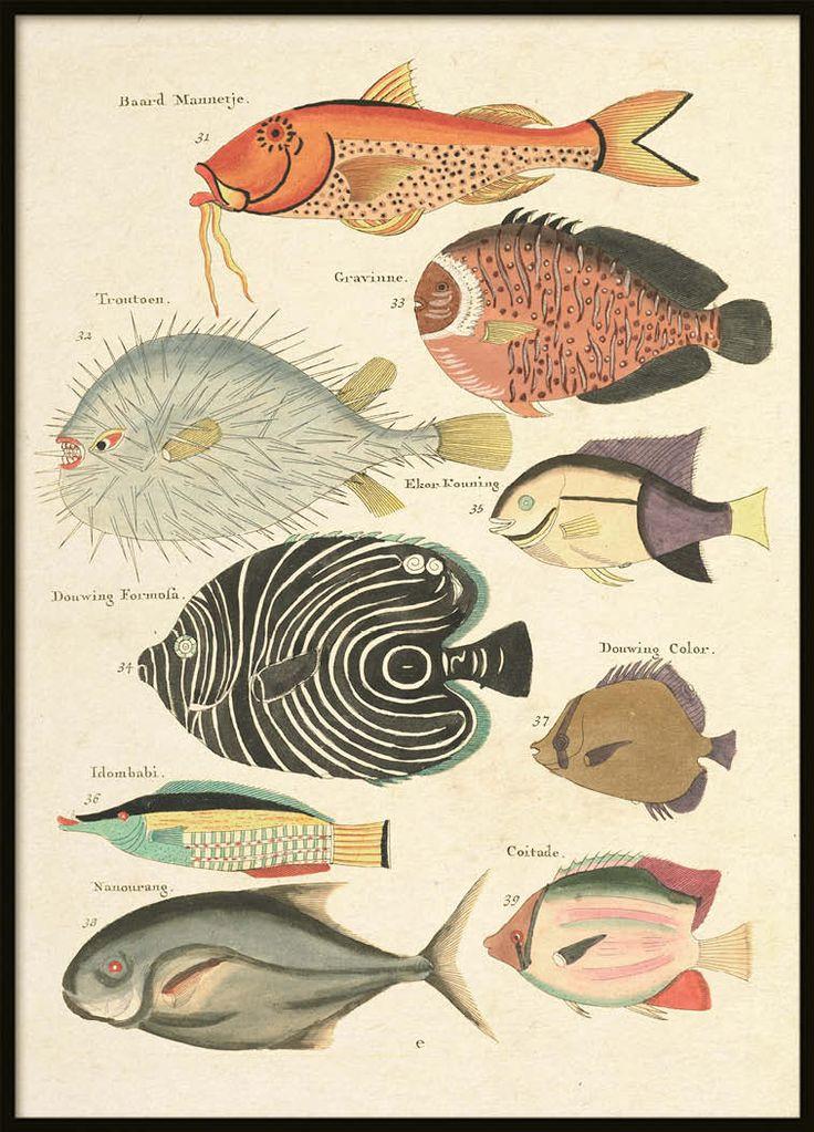Vintage Fish Poster   Zoological Prints Online