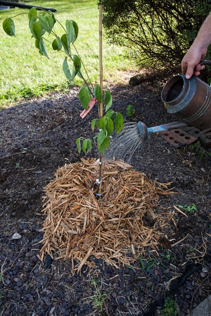 Planting Potted Trees Dogwood Tips And Tricks Potted Trees