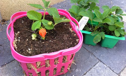 How To Grow Baskets Full Of Berries