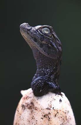 YACARÉ PORÁ  es una empresa del Grupo Insud del empresario y emprendedor argentino Hugo Sigman, que lleva adelante desde el año 2004 un programa de conservación y aprovechamiento sustentable de los caimanes argentinos, a través de la valoración de los recursos naturales.