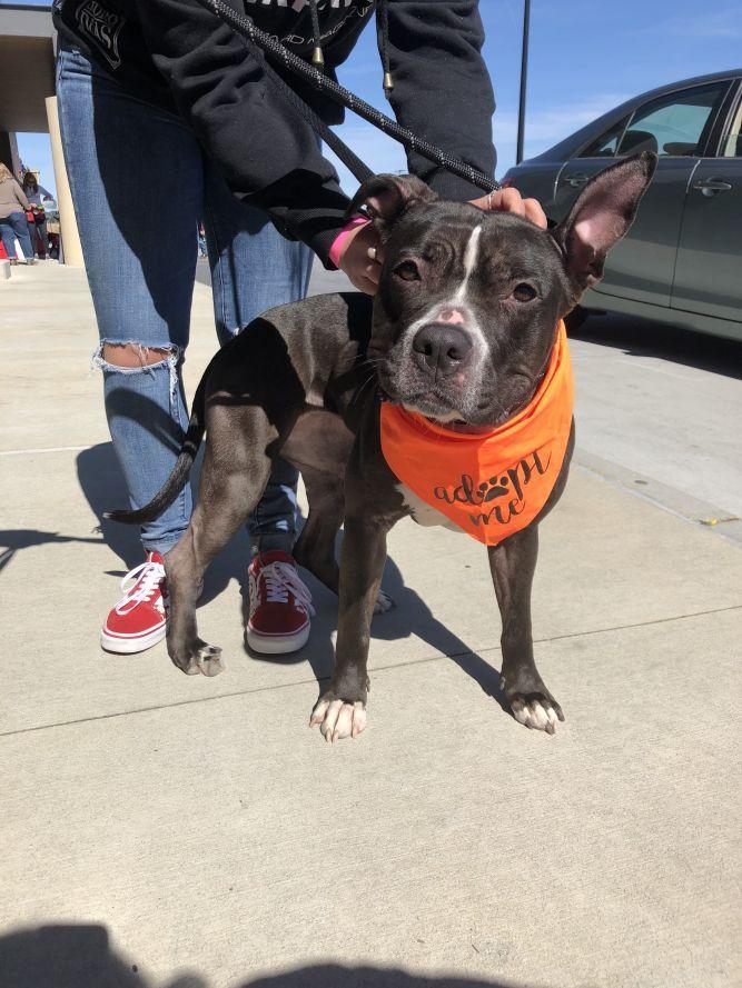 Adopt Keenland On Dog Adoption American Bulldog Mix Adoption