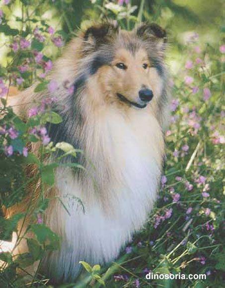 Races de chiens: Colley - Frawsy