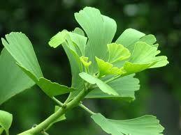 GINKGO BILOBA.Se utiliza las hojas verdes Memoria,  mejorar la circulación sanguínea y el metabolismo energético en el cerebro,depresión y ansiedad.  Estimulante de la circulación, vasodilatador venotónico, antitrombótico (anticoagulante) y antiinflamatorio, para las várices. Efectos antioxidantes y antialérgicos.  Contra el alzheimer, la demencia senil y el mal de Parkinson. vértigo, cefalea, zumbido de oídos, pérdida del equilibrio, trastornos del sueño y de la memoria. Antienvejecimiento.