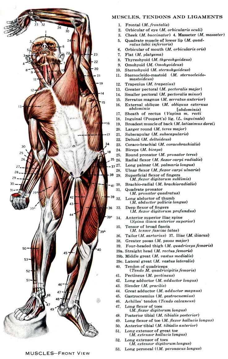 tendons and ligaments essay In summary, tendons are bands of tissue that connect muscle to bone a ligament  is an elastic band of tissue that connects bone to bone and provides stability to.