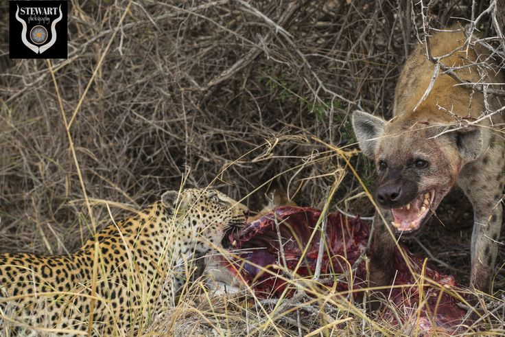 A leopards biggest danger, a hungry hyena!!! Both settling down to a quiet meal together!!!!!!!!