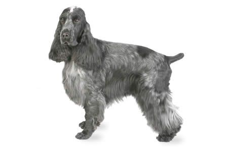 English Cocker Spaniel information including pictures, training, behavior, and care of English Cockers and dog breed mixes.