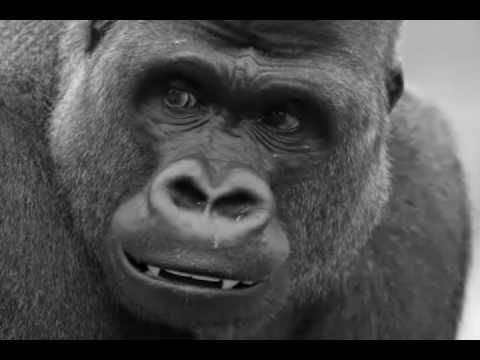 Funny Harambe the Gorilla Video