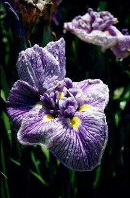 RHS Plant Selector Iris ensata 'Lasting Pleasure' / RHS Gardening