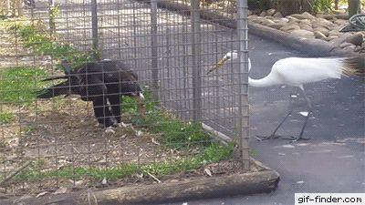 Caged Eagle catches Crane
