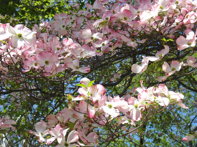 Fleurs qui fleurissent au printemps - Arbuste fleurs jaunes qui fleurit printemps ...