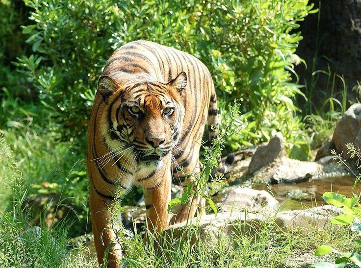 The critically endangered Sumatran Tiger