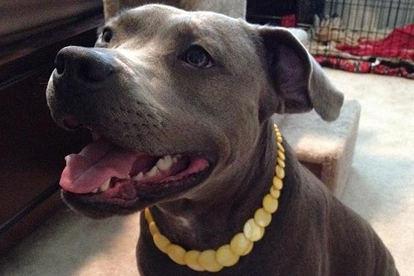 The Fabulous Gracie - A family fosters a starved pit bull, then buys a new home so that they can keep her