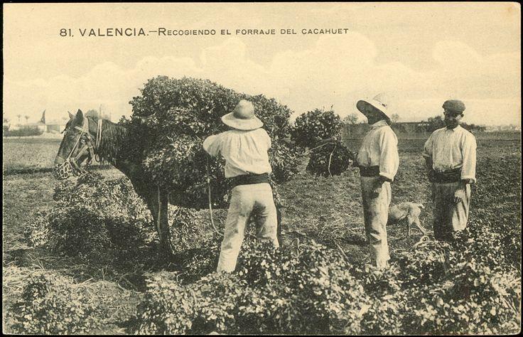 Recogiendo el forraje del cacahuet : Valencia. (s.a.) - Anónimo