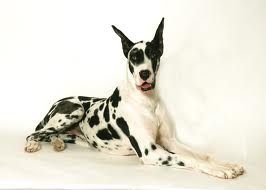 harlequin great dane with blue eyes - Google Search