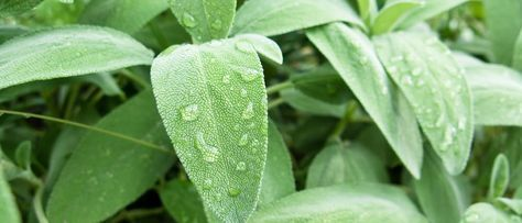 Salbei – wunderbar gegen Entzündungen, lindert Kopfschmerzen und wirkt Wunder bei Hitzewallungen während der Wechseljahre... http://superfood-gesund.de/salbei/