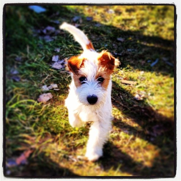 jack russell terrier--- looks like trouble, just like leo was!