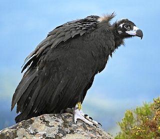 El Buitre Negro