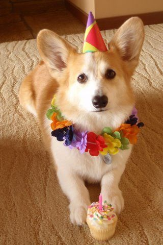 Birthday Corgi - that face! those ears!! What's not to love?? ;P