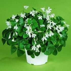 Caring for Your St. Patrick's Day Shamrock Plant - (This popular house plant (oxalis) is very easy to grow and maintain) http://gomestic.com/gardening/caring-for-your-st-patricks-day-shamrock-plant/