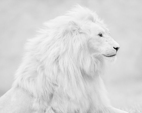 Albino Lion...breath taking!