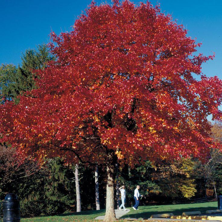 Small Ornamental Trees For Kansas: 45 Best Q : G : Trees & Large Shrubs Images On Pinterest