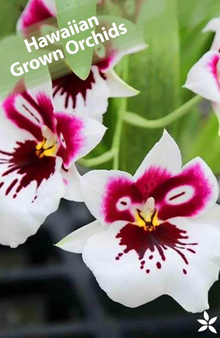 1000 Ideas About Types Of Orchids On Pinterest