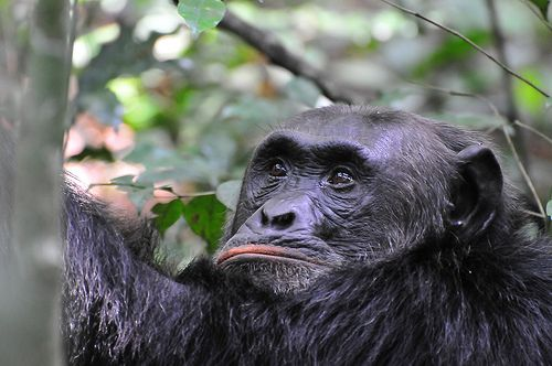 Enjoy Chimpanzee and Gorilla trekking tours on safari in Uganda, Rwanda and Africa. http://safaridmc.com/goriilla-trekking/