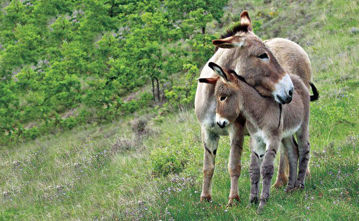 mother donkey & foal
