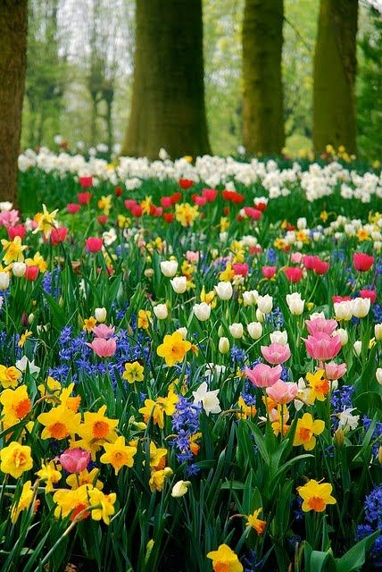 The beauty of Spring bulbs...Beautiful Flower, Spring Flowers, Spring Colors, Tulip, Flower Gardens, Bulbs, Spring Bloom, Flowersgarden, Provence France