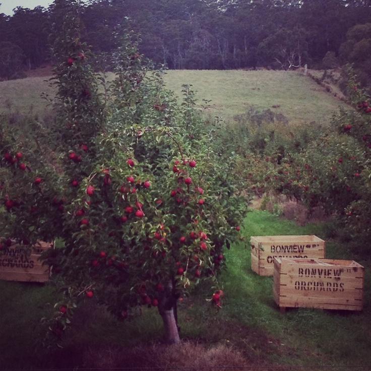 Orchard, Cygnet