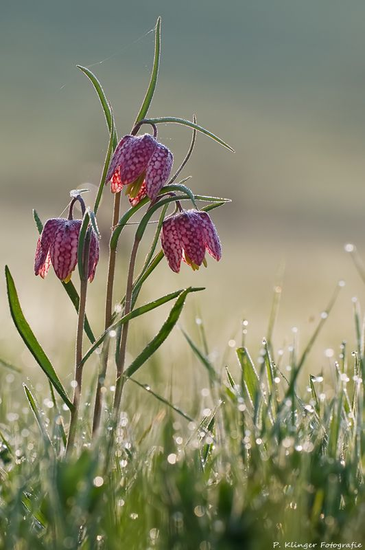 Fritillaria meleagris - snake's head - KUNGSÄNGSLILJA. Jan sowing. Blooms may-jun