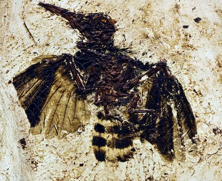 An incredible bird from the Eocene age Messel oilshale deposits near Frankfurt, Germany on display at the museum at Darmstadt. It is of the genus Messelirrisor, which is an early relative of living hoopoes.  Photo: Fiann (@fms.fossils)     Amazing Geologist