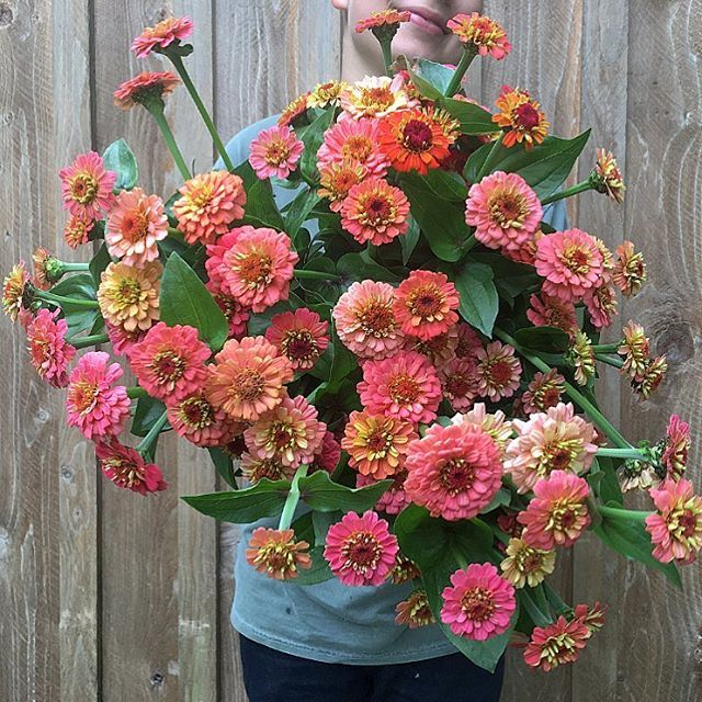 'Oklahoma Salmon' #zinnias #flowerfarmer #floretseeds taking the first✂️on these sweethearts today.