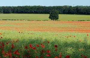 Poppies near Coombe Bissett
