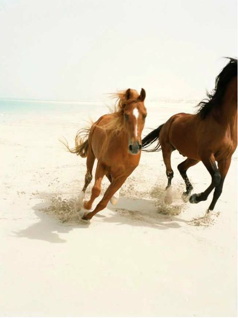 Two wild horses gallop along side each other