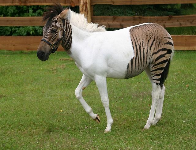 Zebra-Pferd Eclyse im Zoo Safaripark Stukenbrock by Udo Richter