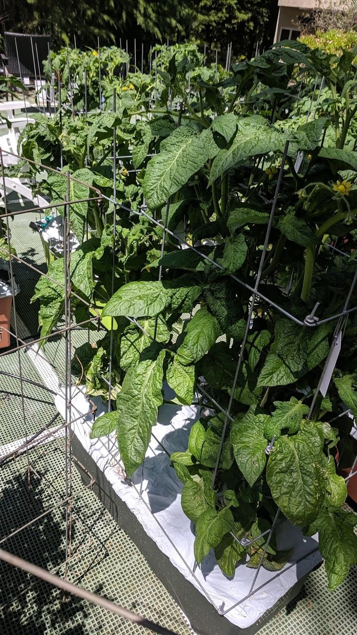 Photo In Dwarf Tomatoes 2019 Google Photos Plants 400 x 300