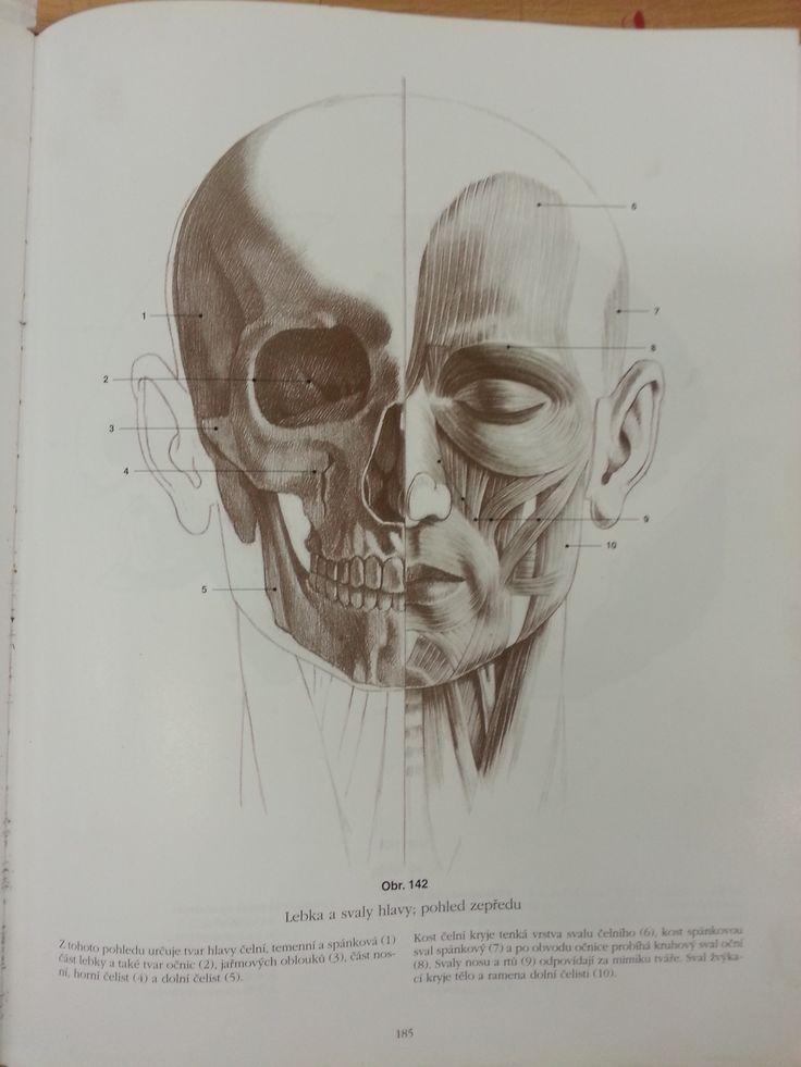 hlava - lebka/svaly