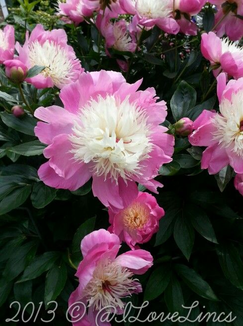 432 Best Images About My Mom 39 S Peonies On Pinterest