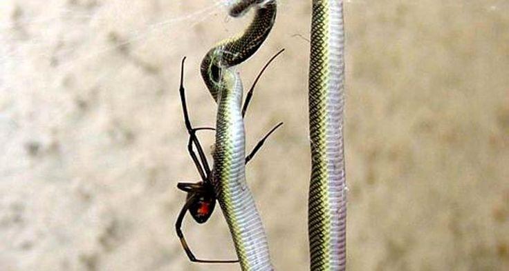 O vídeo de uma ranha matando uma cobra se torna viral na internet. As imagens foram feitas em uma residência na Austrália. A cobra foi morta e acabou sendo devorada por formigas