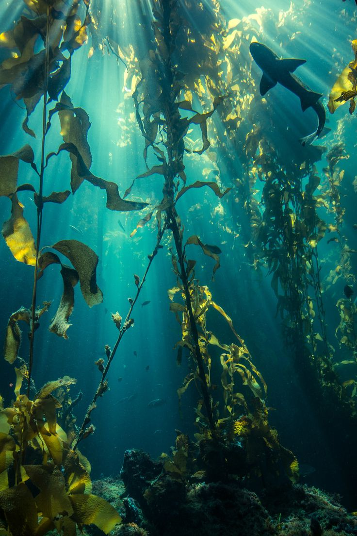 shark in a kelp forest                                                                                                                                                                                 More