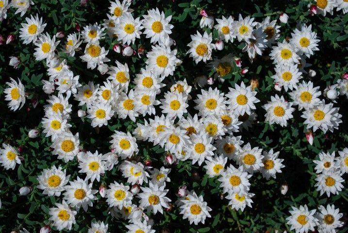 Rhodanthe Sunray Snow --- For more Australian native plants visit austraflora.com