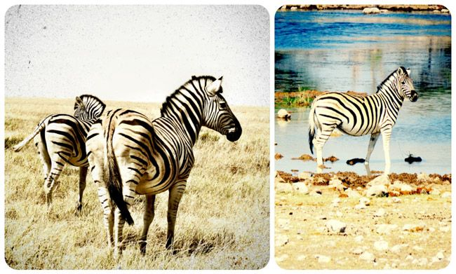 Should you go on Safari at Etosha National Park in Namibia or Chobe National Park in Botswana? Find out the difference! Wild zebras in Etosha