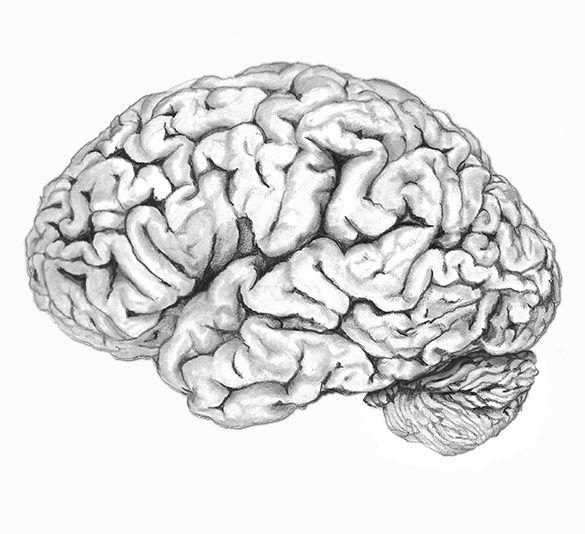 Человеческий мозг картинка для срисовки