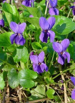 VIOLA ODORATA L. NOMI COMUNI: viola mammola, violetta FAMIGLIA: Violaceae