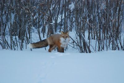 Encounter with a fox on the ice road | Life in Inuvik, Northwest Territories